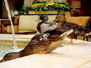 Peabody Hotel Orlando ducks
