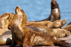 portofino-hotel-and-yacht-club-california-harbor-seals_hpg