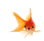 Will the goldfish stay or go?