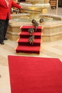 The Peabody Ducks waddle the red carpet