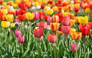 tulips-3359902_1920